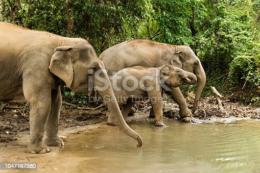 Group of elephants is bathing in a pond between a forest. Chiang Mai province, Thailand.