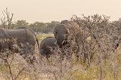 Grupo de elefantes caminando entre los arbusto con espinas al atardecer cerca de la Puerta de Andersson en el Parque Nacional de Etosha, en Namibia.