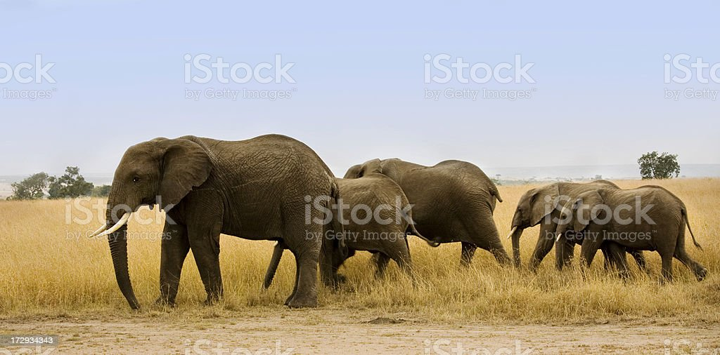 Group of elephants walking together royalty-free stock photo