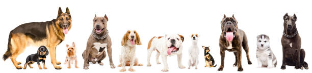 Group of eleven cute dogs, isolated on white background Group of eleven cute dogs, isolated on white background cane corso stock pictures, royalty-free photos & images