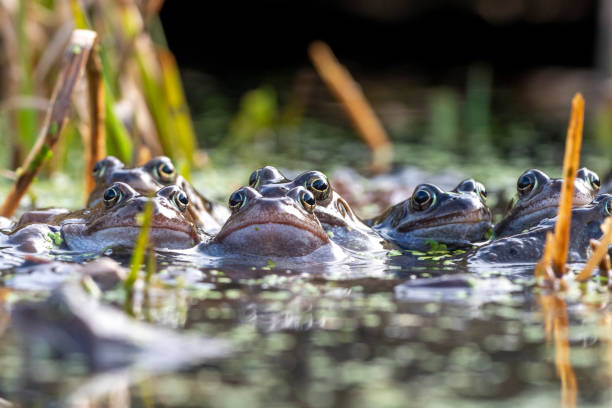 Group of European Common Frogs stock photo