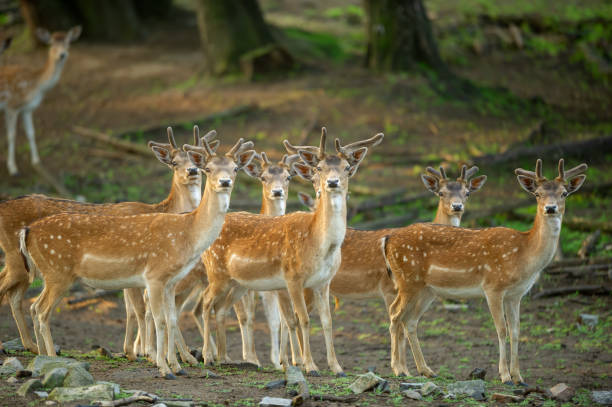 Group of fallow deers in the forest. A vigilant group of fallow deers. stock photo