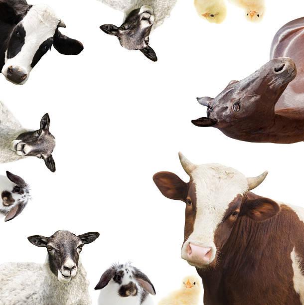 Gruppe von Nutztieren – Foto