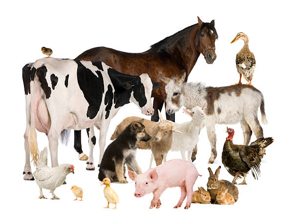 Group of Farm animals stock photo