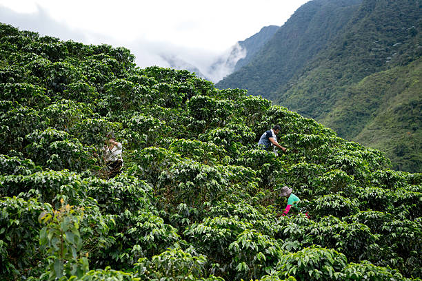 group of farmers collecting coffee beans - colombia stock photos and pictures