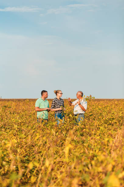 Group of farmers standing in a field examining soybean crop before harvesting. Group of farmers standing in a field examining soybean crop before harvesting. agricultural cooperative stock pictures, royalty-free photos & images