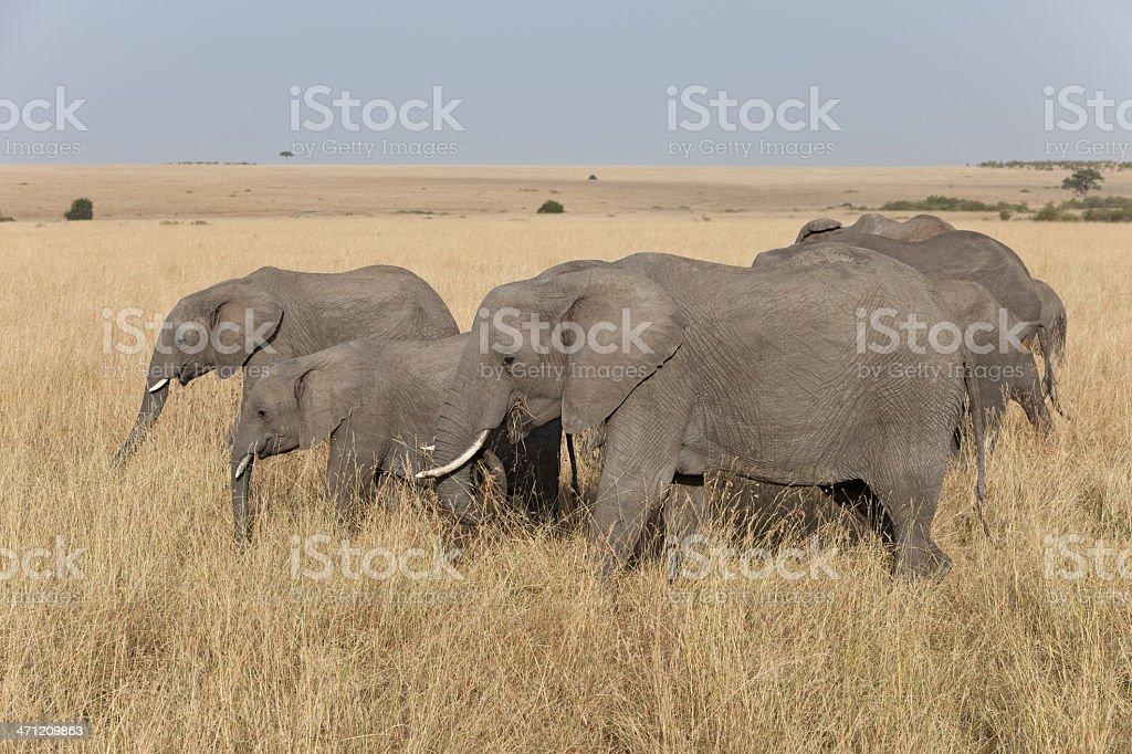 Group of feeding African Elephants, Masai Mara, Kenya A group of African Elephants enjoy the food of the Masai Mara, Kenya. Africa Stock Photo