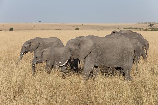 Group Of Feeding African Elephants Masai Mara Kenya Stock Photo - Download Image Now