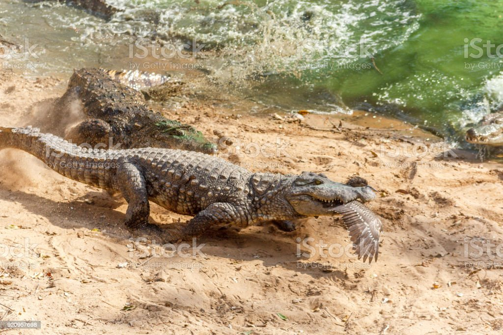 Group of ferocious crocodiles or alligators basking in sun stock photo