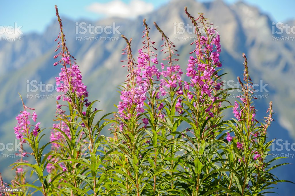 A group of fireweed plants (Epilobium angustifolium) in the High Tauern stock photo