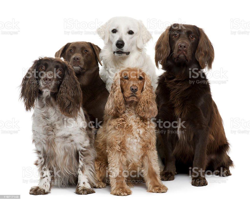 Group of five dogs, including Labrador retriever stock photo