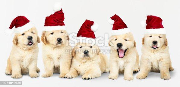 Group of five Golden Retriever wearing Santa hats