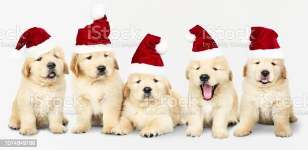 Group of five golden retriever wearing santa hats picture id1074849186?b=1&k=6&m=1074849186&s=612x612&h=ucvl4uw99hirhglf gec5jva0w0fkaxyzs f7oijoxq=
