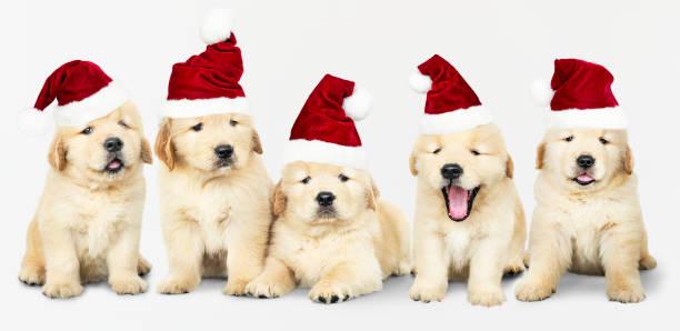 Group of five golden retriever wearing santa hats picture id1074849186?b=1&k=6&m=1074849186&s=612x612&w=0&h= 4rd gacevy2jqgbni9rafteds6p p8tlg8pebcpwjq=