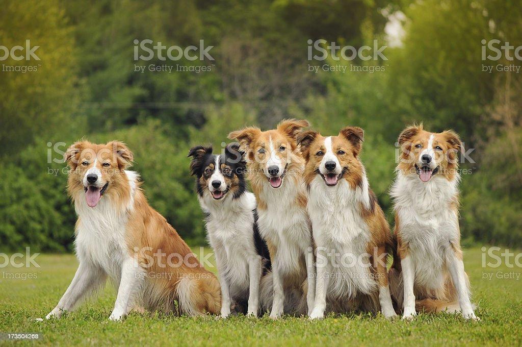 Gruppe von fünf glückliche Hunde border-collie – Foto