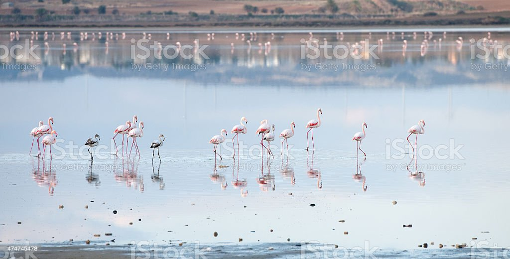 Group of Flamingo birds  walking in a lake stock photo