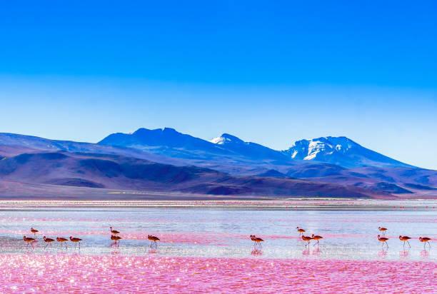 玻利維亞山脈 colarada 湖的火烈鳥群 - 玻利維亞 個照片及圖片檔