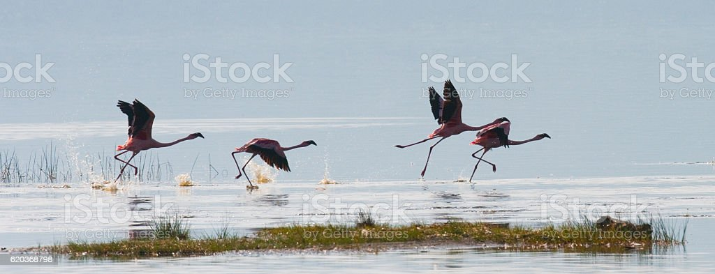 Group of flamingos on the lake. Kenya. foto de stock royalty-free