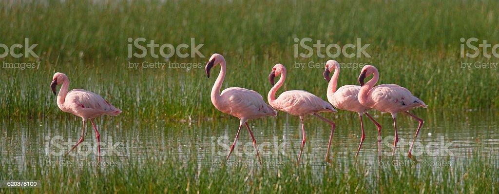 Group of flamingos on the lake. Kenya. zbiór zdjęć royalty-free