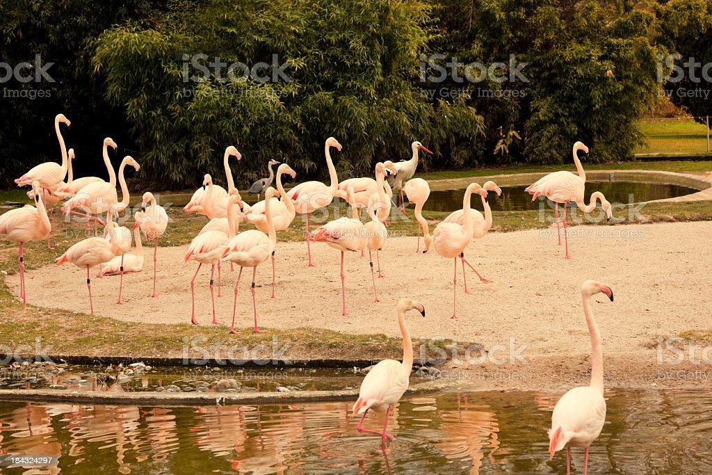 Group of flamingos royalty-free stock photo