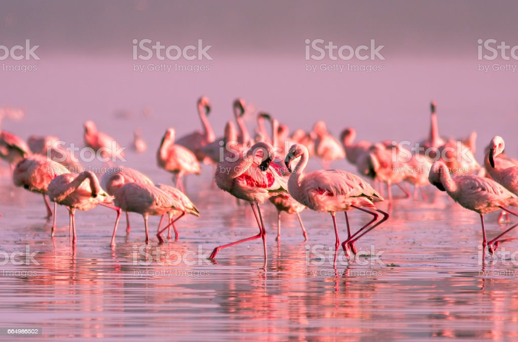 group of flamingos standing in the water in the pink sunset light on Lake Nayvasha stock photo