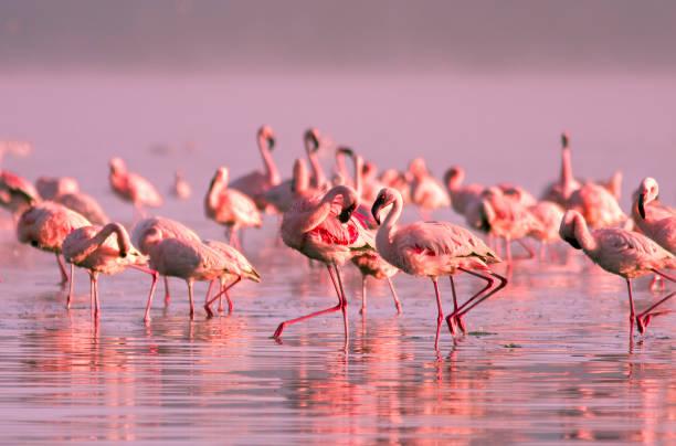 Groupe de flamants roses, debout dans l'eau dans le coucher de soleil rose clair sur le lac Nayvasha - Photo
