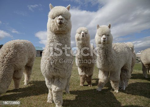A group of white alpacas on a farm in Scotland