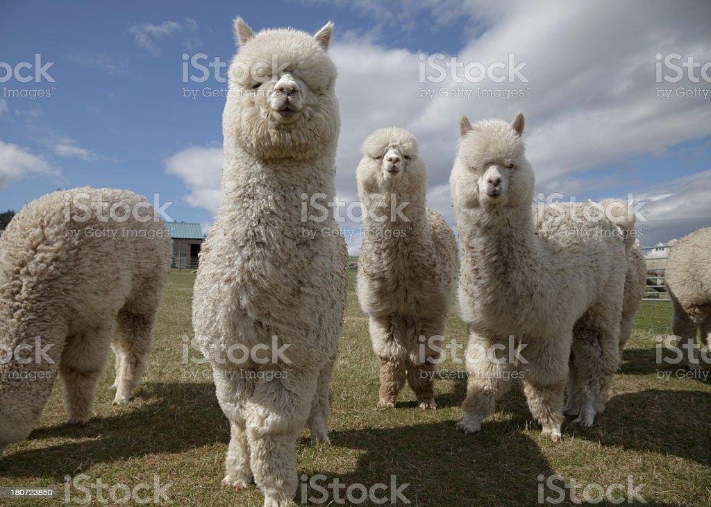 Group of fluffy white alpacas on a farm in Scotland stock photo