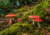 istock Group Of Fly Agaric With Red Caps On Mossy Forest Ground 1125768166