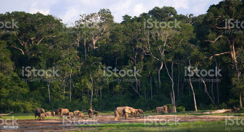 Group of forest elephants in the forest edge. Republic of Congo. Dzanga-Sangha Special Reserve. Central African Republic. stock photo