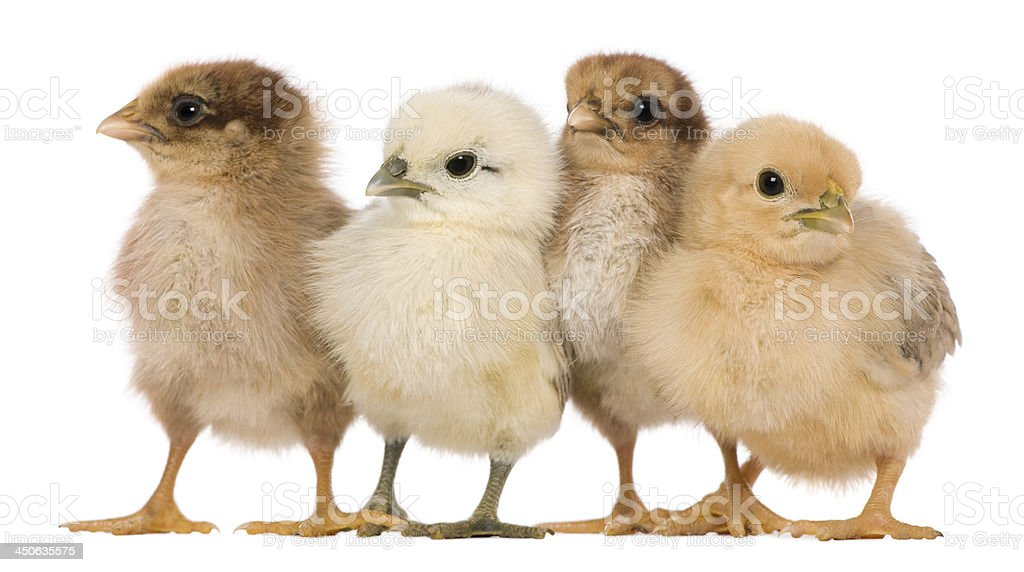 Group of four chicks standing against white background royalty-free stock photo