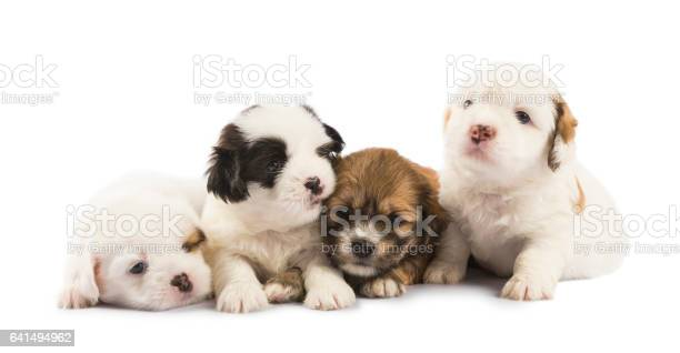 Group of four cute puppies isolated on white picture id641494962?b=1&k=6&m=641494962&s=612x612&h= q heb7wsgv6vx3fkjecwhpwpp6vz3adpepkmoik t8=