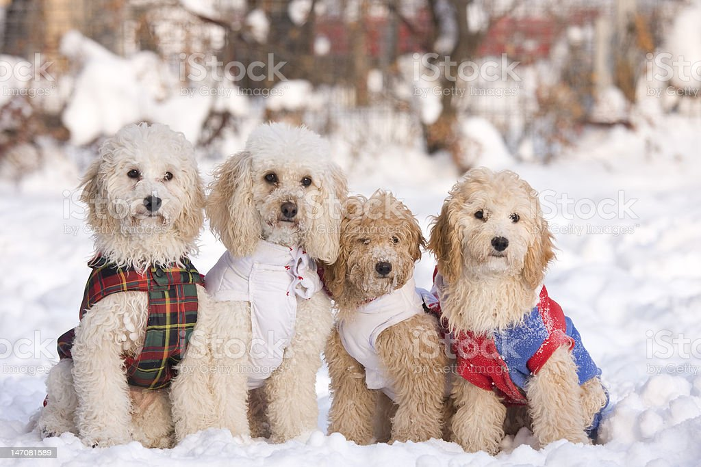 group of four dogs sit in snow royalty-free stock photo