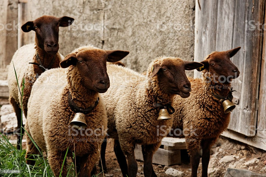 Group of four Suffolk Sheep staring to the front stock photo