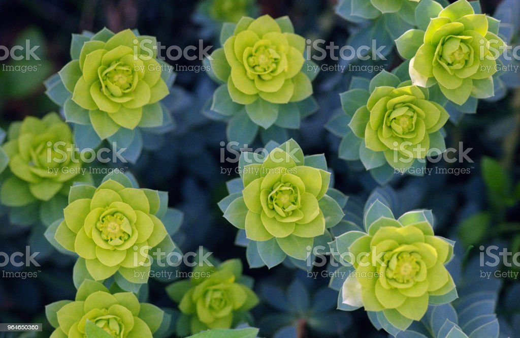 Group of fractal ephorbiaceae plants. Shot on film royalty-free stock photo