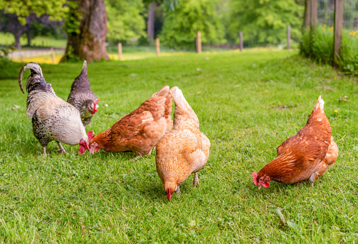 A group of organically raised, free range hens and a cockerel foraging for food in the grass.
