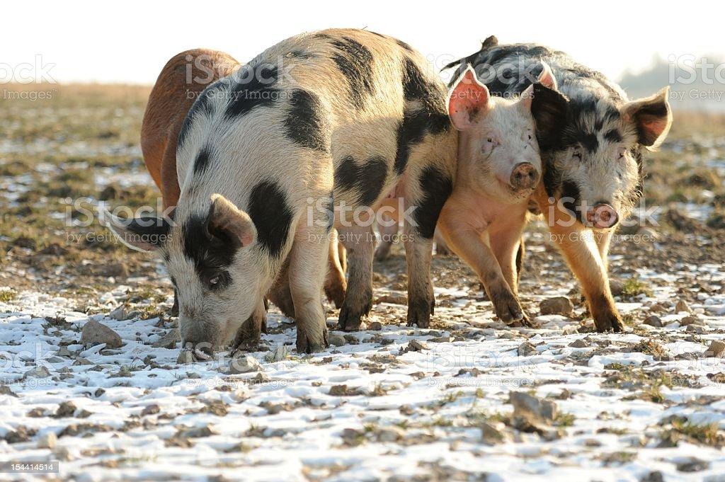 Group of free range organic pigs in snow. stock photo