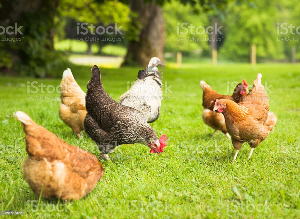 Group of free-range chickens foraging in meadow grass stock photo