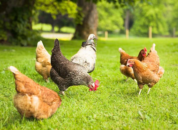 group of free-range chickens foraging in meadow grass - frigående bildbanksfoton och bilder