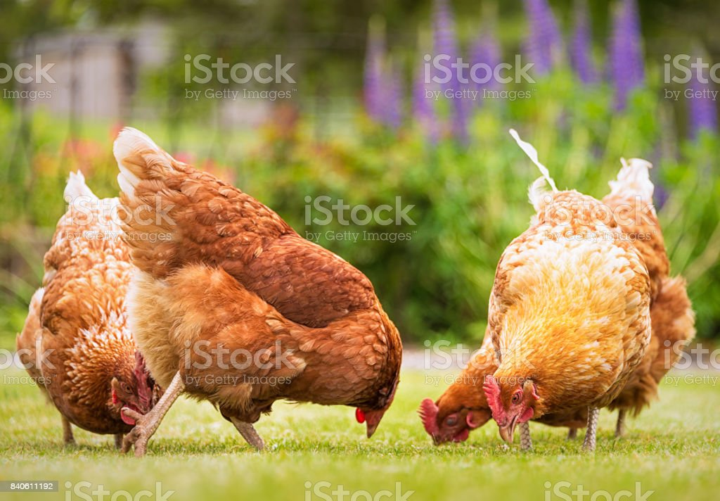 Group of free-range hens foraging for food stock photo