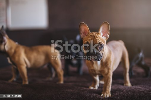 Cute French bulldog puppies standing on a bed in bedroom.