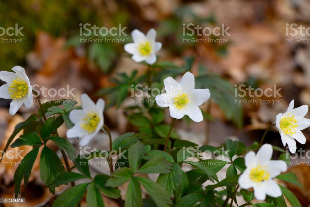 Group of fresh anemone nemorosa flowers in a forest stock photo