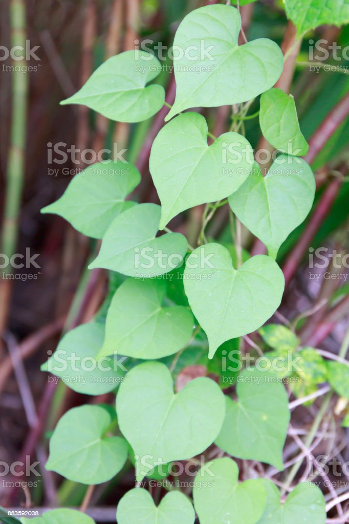 Group of Fresh Green Heart-Shaped Leaves in Tropical Asia stock photo
