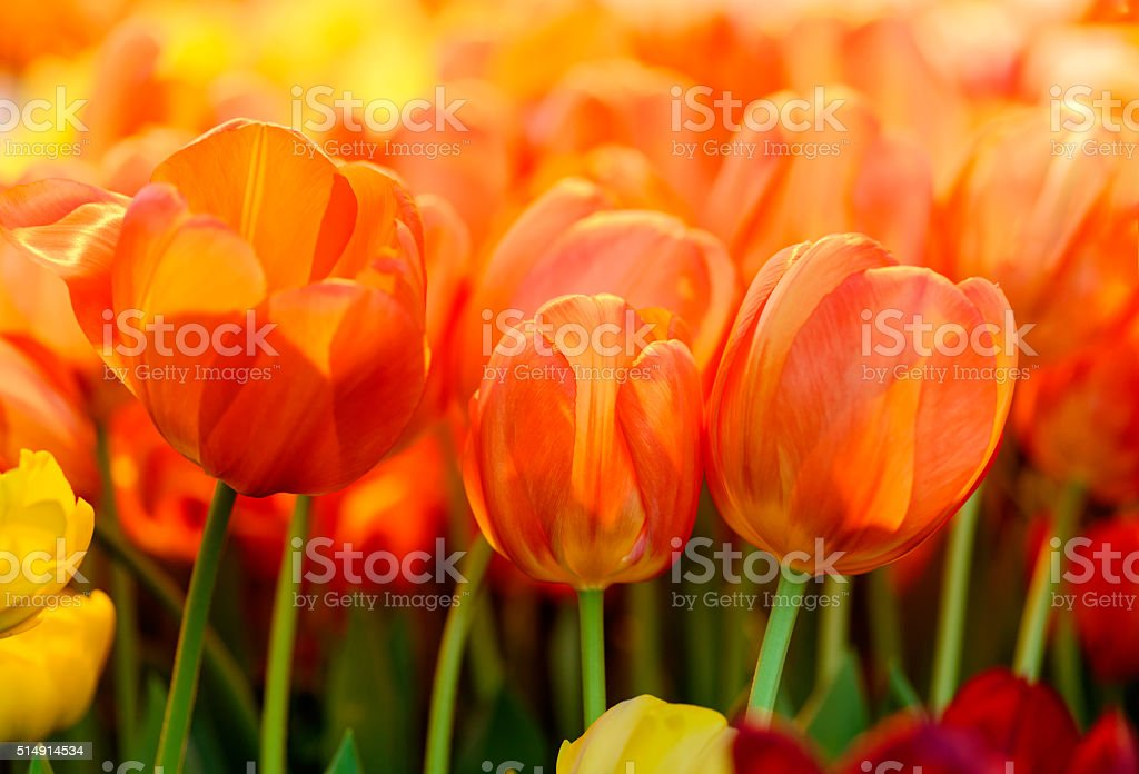 Group of fresh orange red tulips stock photo