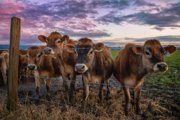 Eine Gruppe freundlicher Kühe am Zaun – Foto