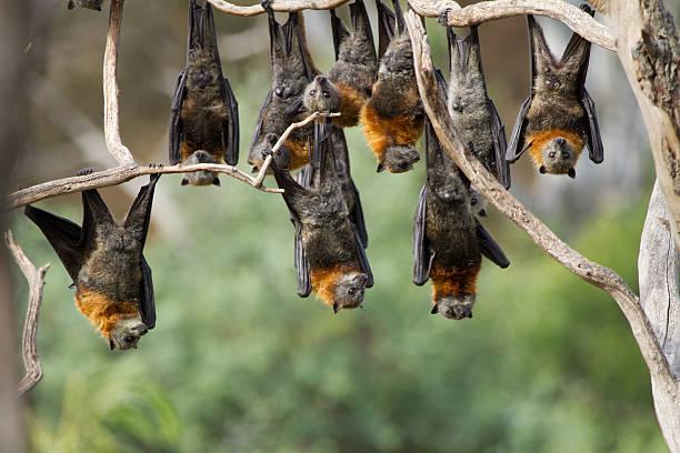 Group of Fruit Bats stock photo