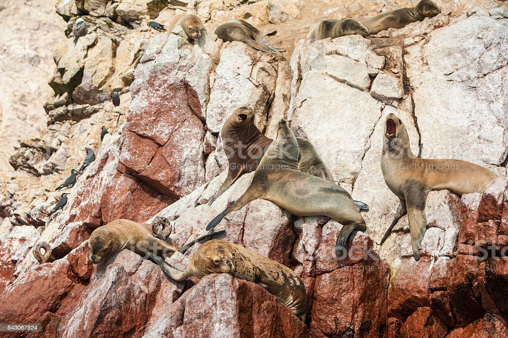 Group of fur seals sunbathing on the red cliffs stock photo