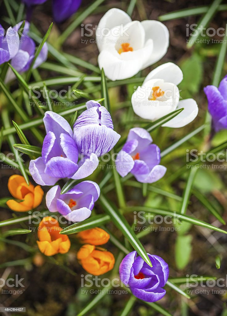 Group of garden crocus flowers royalty-free stock photo