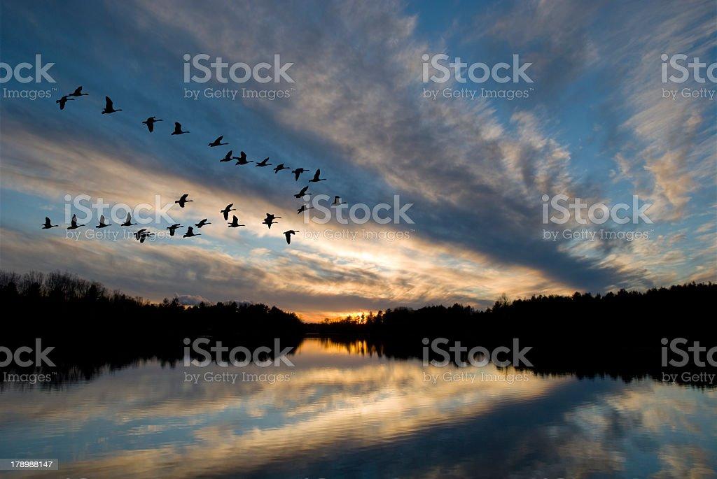 Oies au coucher du soleil - Photo