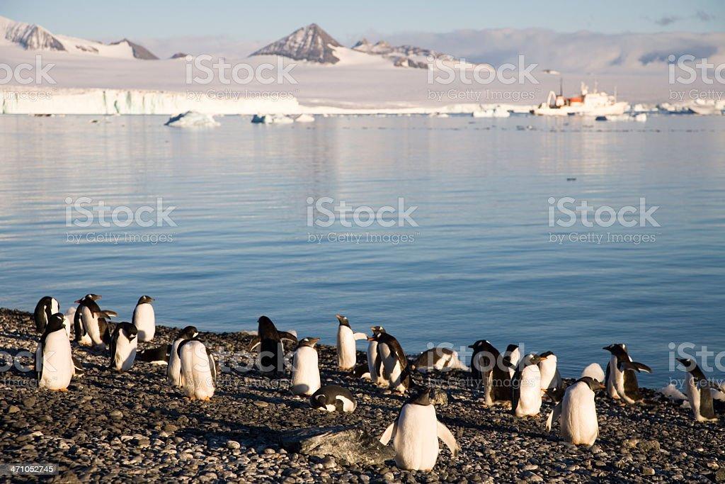 Group of Gentoo Penguins Antarctica royalty-free stock photo